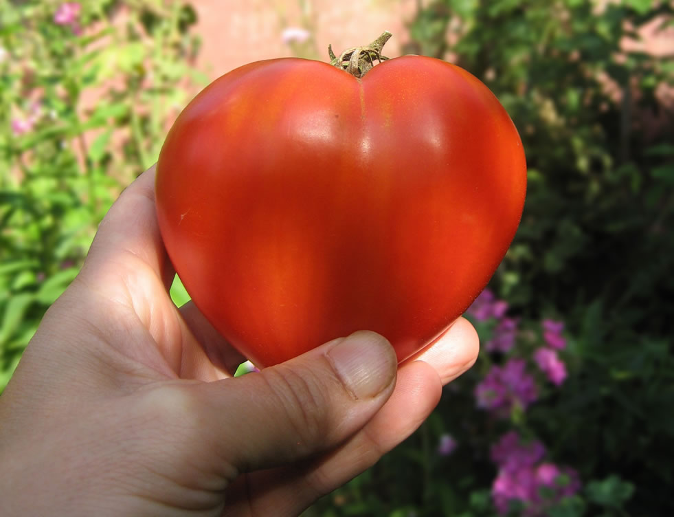 tomate-banniere